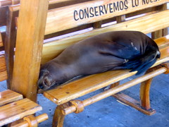 San Cristobal sea lion