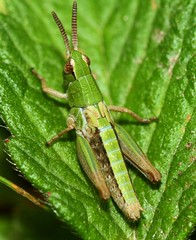 Grass Hopper (WaterBugsPics) Tags: wild green nature beautiful insect grasshopper gamewinner herowinner pregamewinner