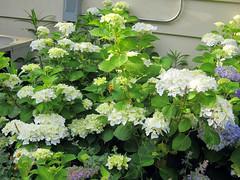 blushing bride hydrangea late spring