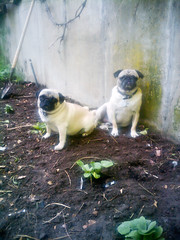 Pugs and Gardening (wickenden) Tags: brown green garden fawn pugs