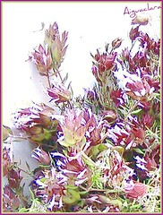herba olorosa (aiguaclara) Tags: verde green planta digital hojas rosa natura sierra serra silvestre picnik verd flors hierba granate herba olor fulles cantueso