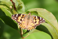 Painted Lady (Andy_Hartley) Tags: uk england nature butterfly garden photo europe wildlife butterflies warwickshire canon450d sigma150500