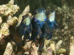Mandarinfish_PCF8296 (Paul Flandinette) Tags: ocean nikon underwater philippines sealife cebu marinelife oceanlife underwaterphotography mandarinfish moalboal synchiropussplendidus dragonets paulflandinette