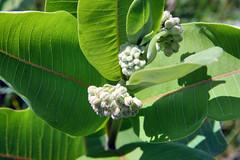 a023 milkweed