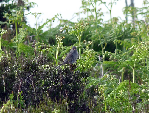 P1050416 - Marmora's Warbler, Gwent