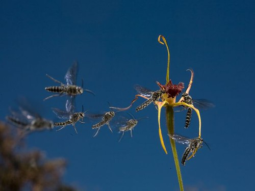 king-spider-orchid_6323_600x450