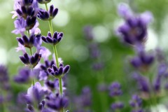 Lavender (The Top Hat Bandit) Tags: flower green mac purple bokeh lavender reddin edgedonkey