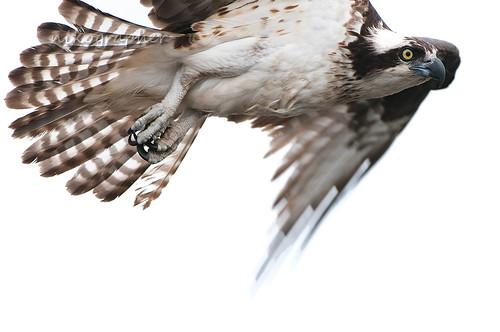 MD Osprey