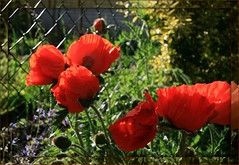 Sunny (arrowlakelass) Tags: red flower rot garden aka laranja poppy rd rood rosso   rd   roig   czerwony erven krmz rooi czerwie  carmn   bermeyu             img7110