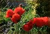 Sunny (arrowlakelass) Tags: red flower rot garden aka laranja poppy rød rood rosso 红色 ワイン röd 色 紅 roig バラ レッド czerwony červená kırmızı rooi czerwień 赤色 carmín いろ أحمر bermeyu 猩々緋 紅赤 薔薇色 ばら色 バラ色 茜色 臙脂 銀朱 深緋 真紅 深紅 đỏ img7110