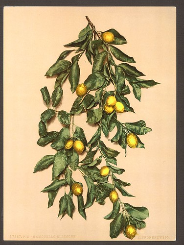 [A branch of lemons, Limone, Lake Garda, Italy] (LOC)
