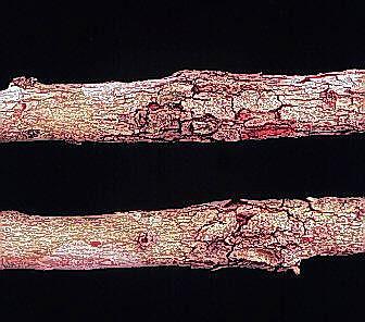 Botryosphaeria stem canker
