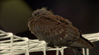 Juvenile speckled pigeon