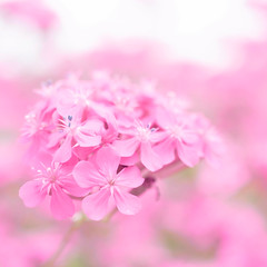 20100606 Kuragaike 7 (Melted pink) (BONGURI) Tags: pink toyota 愛知 aichi ricoh a12 豊田 ピンク gxr sweetwilliamcatchfly 桃色 ハエトリナデシコ kuragaike ムシトリナデシコ コマチソウ 鞍ヶ池公園 kuragaikepark 鞍ヶ池