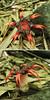 aseroe rubra (disposable being) Tags: mushroom hawaii aseroerubra anemonestinkhorn seaanemonefungus