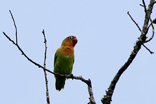 FischersLovebird