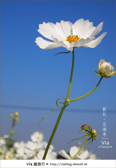 【2010新社花海】via帶大家欣賞全台最美的花海!24