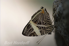 Colobura dirce - zebravlinder (Bart Hardorff) Tags: butterfly vlinder butterflygarden coloburadirce zebramosaic dircebeauty orchideenhoeve zebravlinder