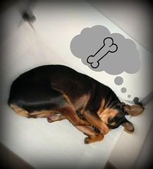 Spike (simo884) Tags: sleeping italy dog cane comfortable work office funny italia super rimini lazy spike favourite job colleague ufficio dormire riccione simpatico task lavoro romagna pincher collega preferito meglio
