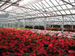 Poinsettias looking good in the greenhouse