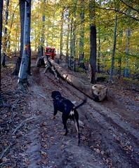 mit keresnek ezek az erdőmben? / what are they doing in my forest? (debreczeniemoke) Tags: autumn dog forest path kutya footpath ősz erdő frakk ösvény transylvanianhound morgó copoiardelenesc erdélyikopó transylvanianbloodhound