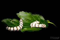pareja de g. seda (victoria@) Tags: gusanodeseda seda gusano naturaleza natura morera
