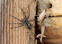 D3X_0317_fl (dmitrytsaritsyn) Tags: spider macro insect nikon d3x 105mm r1c1 outdoor