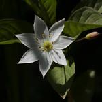 Trientalis europaea  ツマトリソウ thumbnail