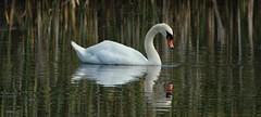 Mute Swan Dribbling (Bogger3.) Tags: muteswan venuspool dribbling canon600d tamron150x600lens fullzoom handheld reflections coth5 sunrays5