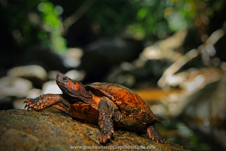 Asian Spiny Turtle (Heosemys spinosa)