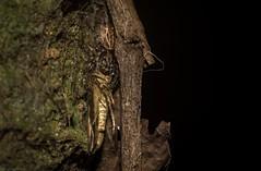 Pungalina + moth (dustaway) Tags: arthropoda arachnida araneae araneomorphae salticidae pungalina jumpingspider australianspiders rainforest rotarypark rprr lismore northernrivers nature nsw australia araignee spinne natur