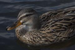 Mallard (Ian C Sanderson) Tags: bird duck summer water feather animal nature nikon d7200 tamron