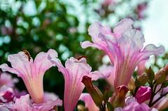 Cosas de bichos... (Leo ☮) Tags: insectos bichos flores flowers blossom jardín garden verano summer julio july color luz light rosa pink nature naturaleza coruña galicia