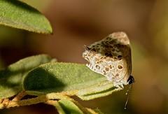 Strymon astiocha (Prittwitz, 1865) (robertoguerra10) Tags: lycaenidae strymon astiocha theclinae eumaeini nordeste brasil northeast brazil america sul south small pequena marrom claro brown pale