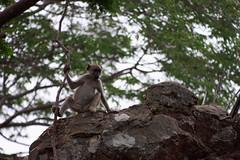 Tarzan Baboon