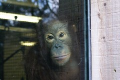 orang-utan looking out of the window at the camera