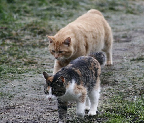 Hammie and Tabico bobtail feral cat photo