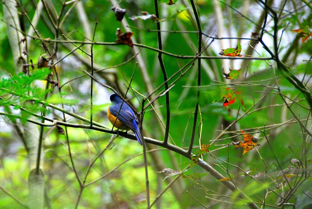 黃腹琉璃鳥