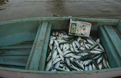 Day's catch, Baluchistan (Ameer Hamza) Tags: pakistan sea fish coast boat highway waters ppa baluch catchoftheday balochistan bangra baluchistan machli coastalareasofpakistan ameerhamzaadhia bangara bangras hingolarea