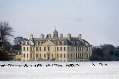 DSC_0130 (ddl200) Tags: uk snow stag lincolnshire deer beltonhouse grantham lincs coldwinter hili