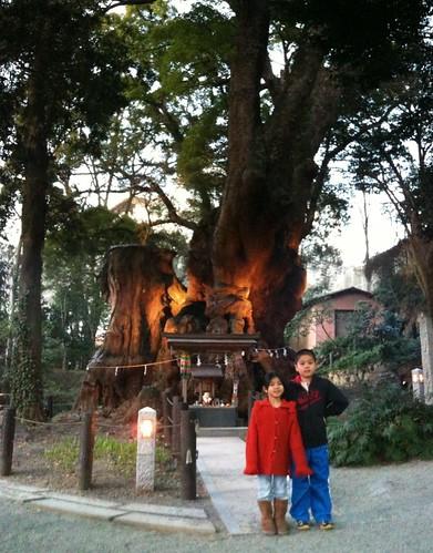 熱海の来宮神社の大樟。AutoStitchで合成。こう言う時本当に便利。