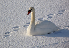 I just can't walk another step ... (TruffleBunny) Tags: snow bird nature swan wildlife reservoir tring impressedbeauty