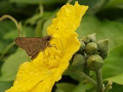 Eye Butterfly (erfin3000) Tags: flower macro green love nature up animal closeup digital insect indonesia exposure olympus jakarta ancol kupukupu naturesfinest serangga 1454mm zuikodigital zd1454mm tamanminiindonesiaindah e520 wonderfulworldofflowers olympuse520 olympusindonesia walangsangit