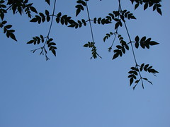 Blue Sky and Leaves (Jagan_Keshavan) Tags: blue sky india love happy truth sony feel bangalore warmth calm care simple pure pleasant soothing jagan h50 iamjgn