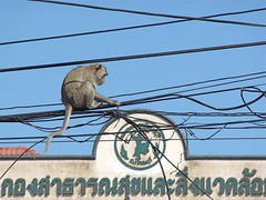 Monkey on telephone cables
