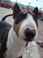 Charly!? (Ms. Meow) Tags: dog cutie perro bullterrier charly