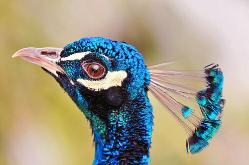 Nice peacock!