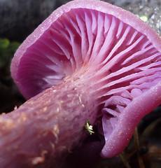 fresh, bright amethyst laccaria