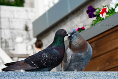 doves kissing (Konstantin Yolshin) Tags: summer white bird love nature sex fauna grey spring kiss kissing couple day pigeon dove wildlife wing mating intercourse flap