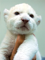 white lion (floridapfe) Tags: baby white cute animal zoo nikon lion korea whitelion  d80